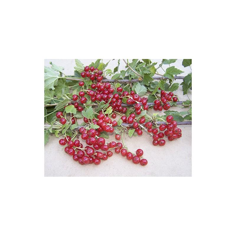 абрикос сорт Нью-Джерси